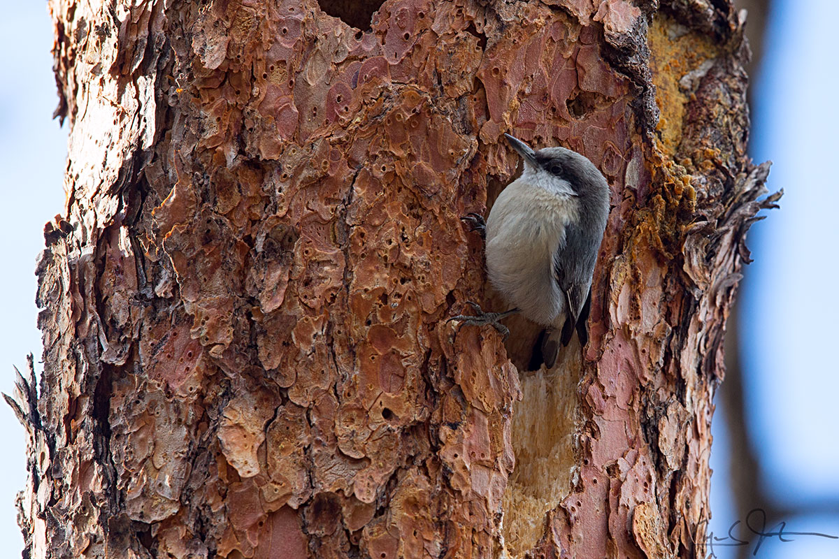 Pygmy Nuthatches are very acrobatic and can be seen climbing the trunks and branches of trees in search of insects and seeds.