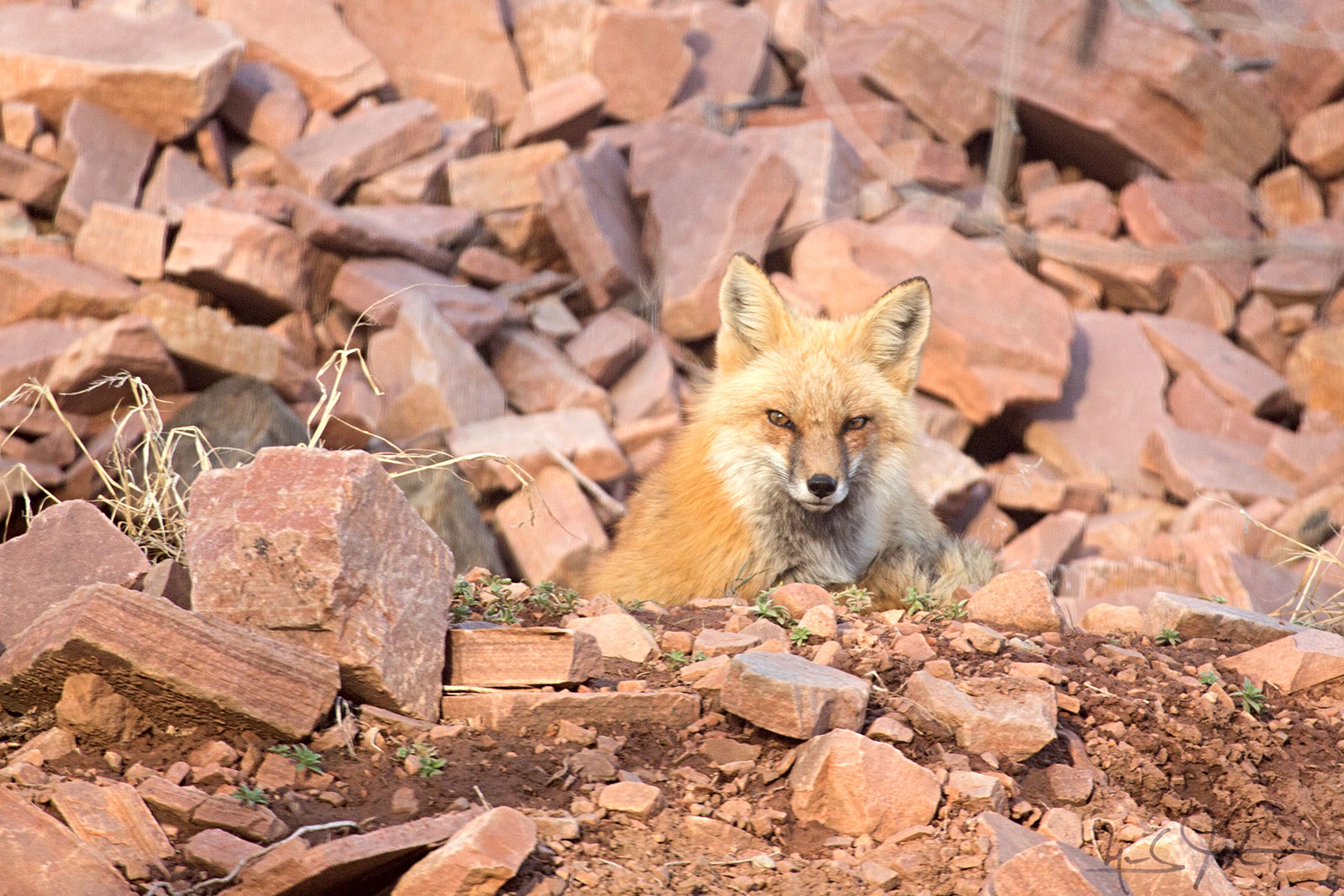 Mama carries the usual color scheme of the Red Fox - an orange-brown with white along the jaws and underneath.