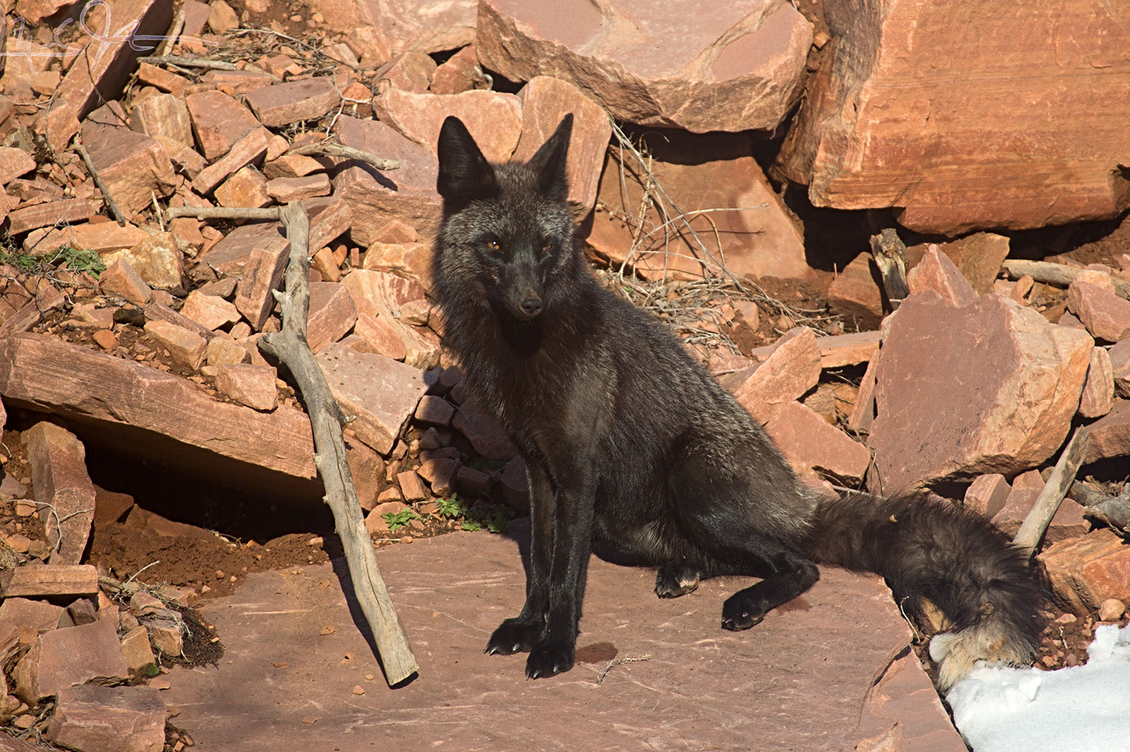 """Papa is a so-called """"Silver"""" fox - the melanistic form. He is mostly black, with a splash of silver at the tip of the tail and some silver tipped-fur elsewhere."""