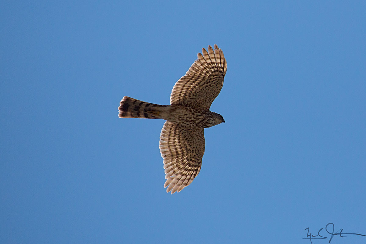 A Northern Harrier [ Circus cyaneus , female] glides by.