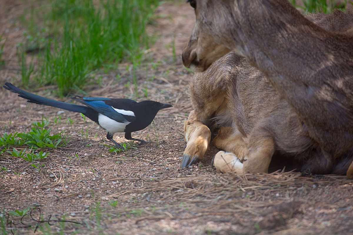 A Black-billed Magpie offers pest removal services.