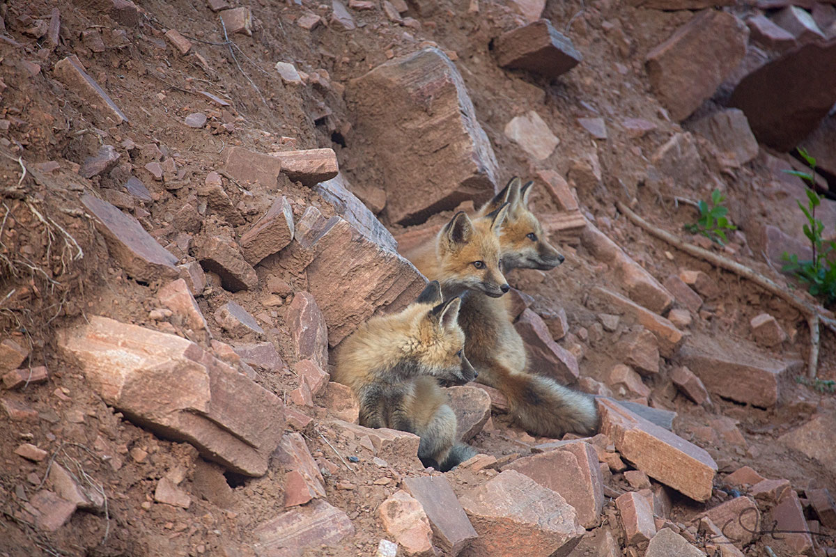 The fox family [Red Fox,  Vulpes vulpes ] was back, with five kits.