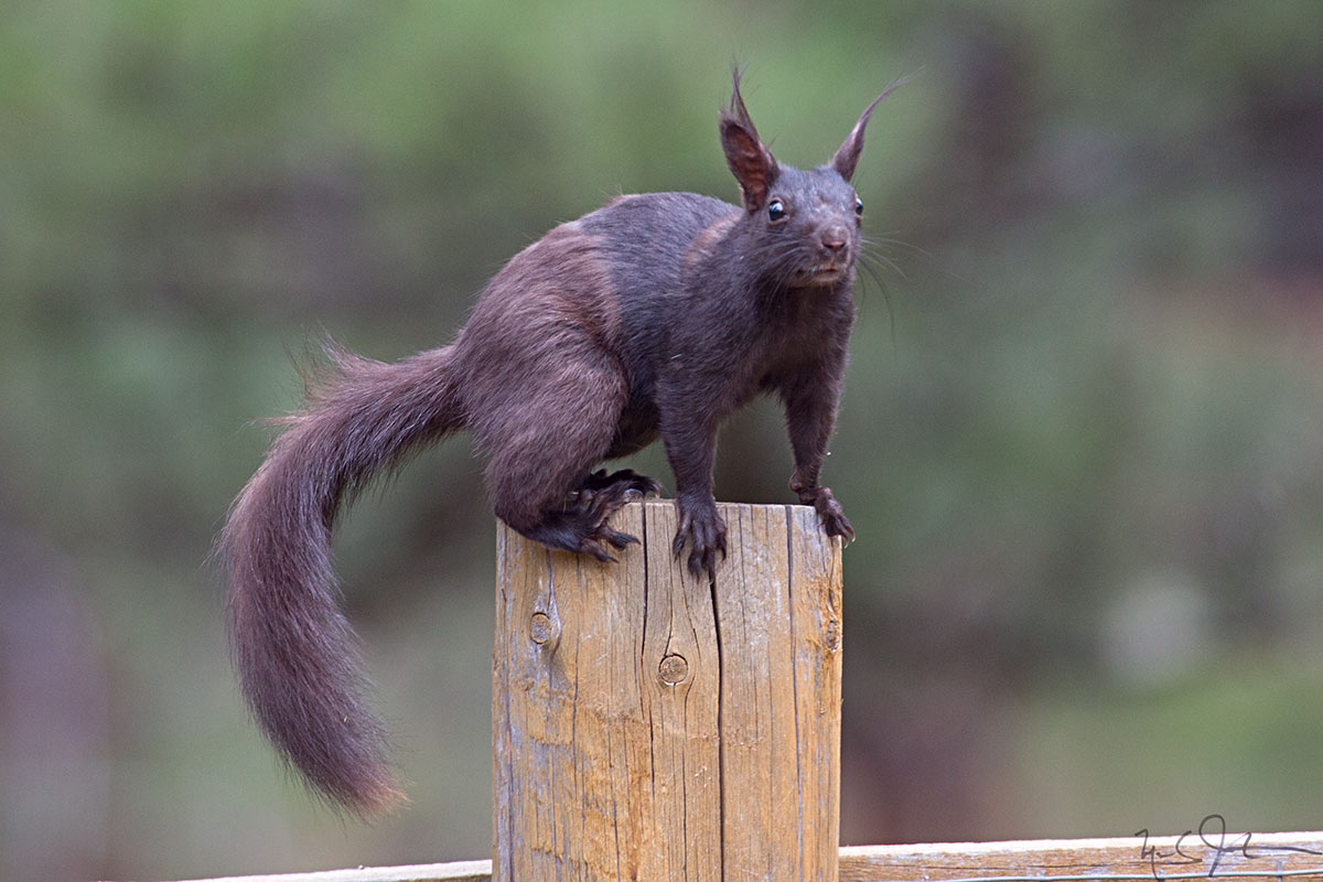 Tassel-Eared Squirrel  [ Abert's Squirrel , C iurus aberti ]. The  C. aberti ferreus  subspecies that lives in the foothills of the Rocky Mountains is all black - all of the other subspecies have a white belly.