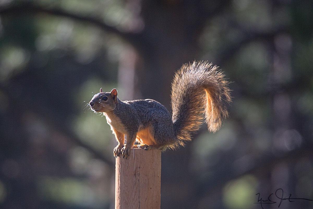 American red squirrel [ Tamiasciurus hudsonicus] .