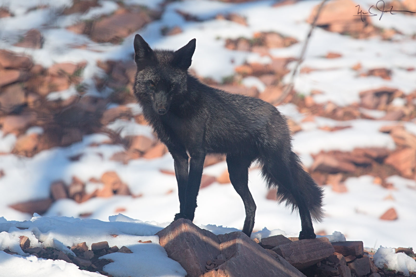 """""""Silver fox"""" - an uncommon color variation of the Red Fox."""