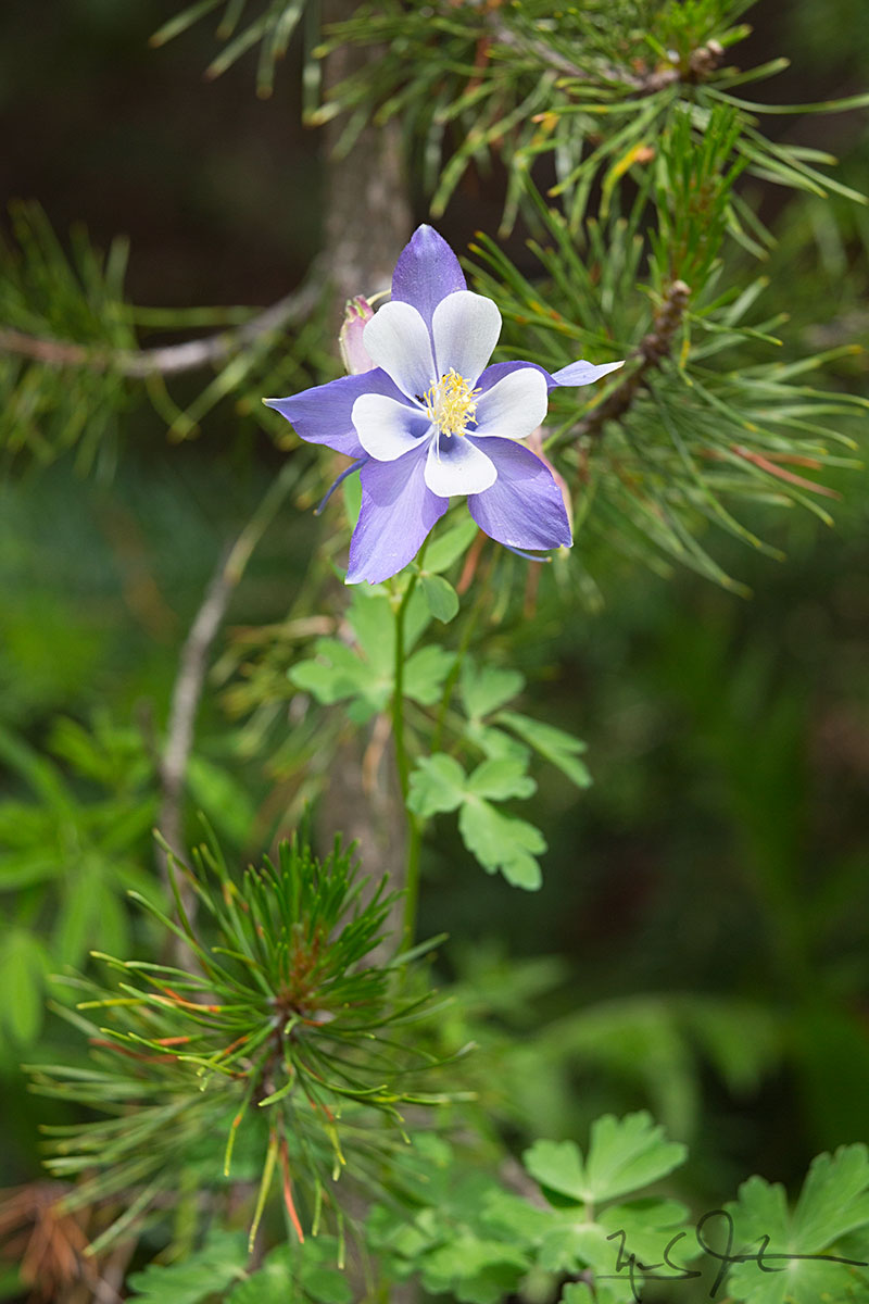 The Colorado State Flower, Columbine.