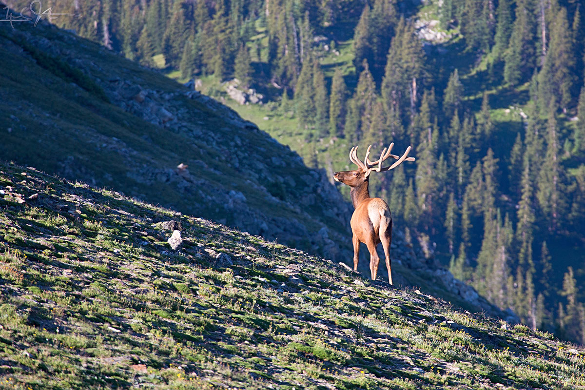 An Elk bull looks down on the tree line.
