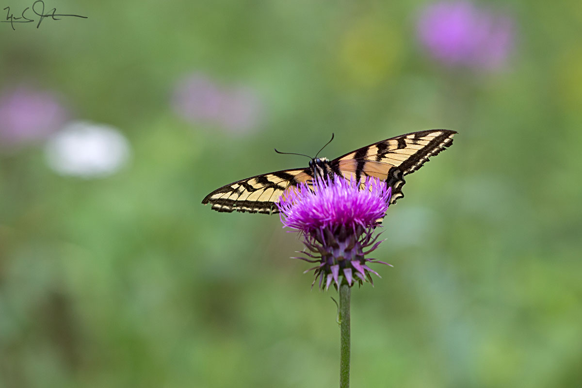 Tiger Swallowtail,  Papilio glaucus , on a thistle blossom.