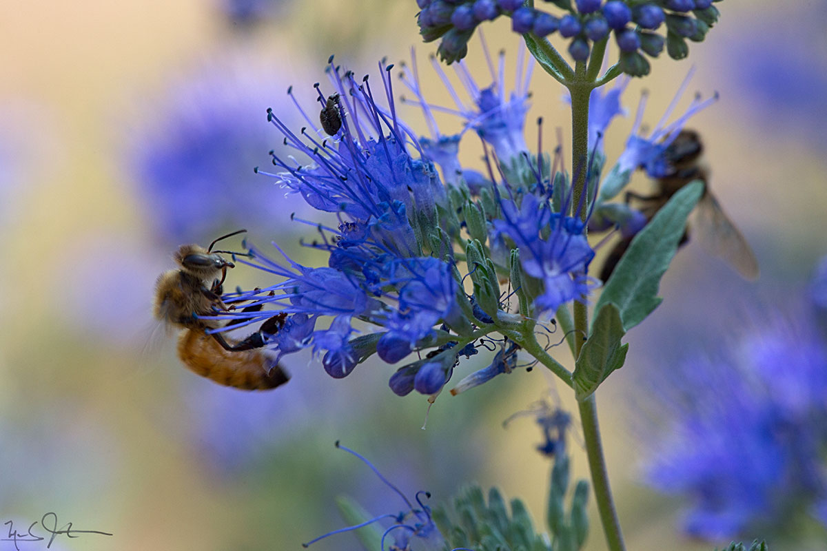 Honeybees at work on sage blossoms.