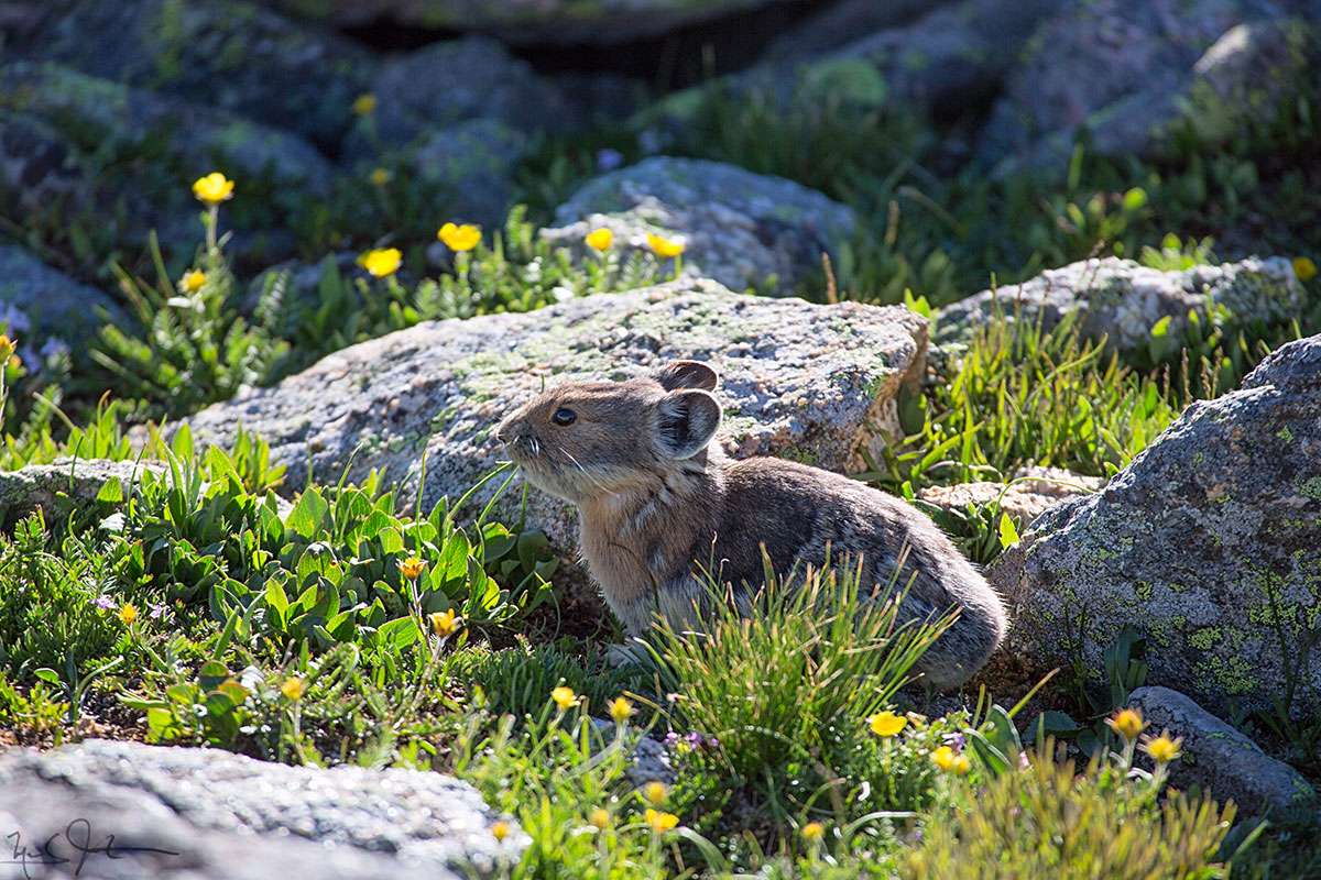 Pica, or Rock Rabbit.