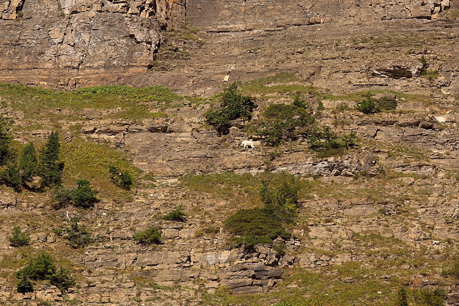 A lone mountain goat saunters along a precipice.