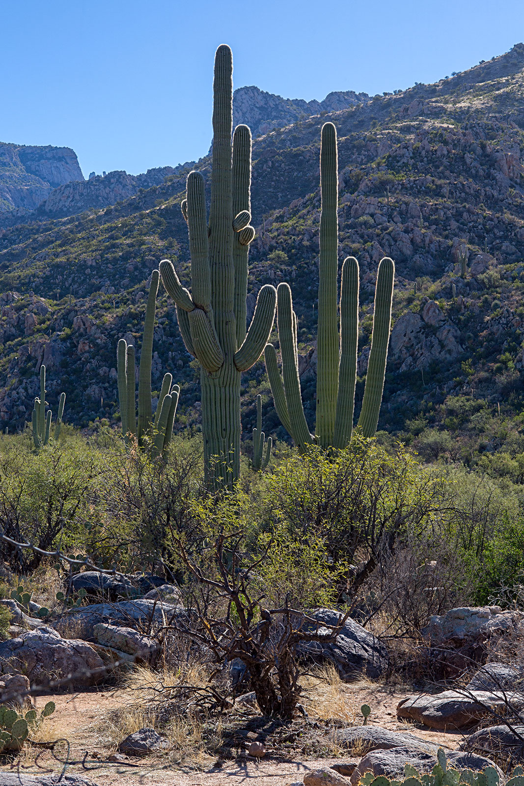 The massive Saguaro cactus, whose seed is so small it is difficult to see with the naked eye, can grow to 60 feet tall, weigh 2 tons, and live well over 100 years.  Their pleated trunks expand and contract as they store and lose water.