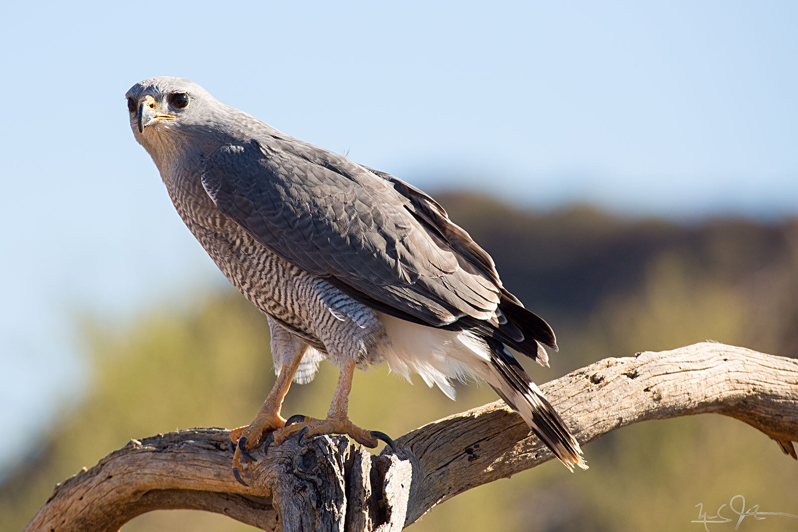 The Grey Hawk,  Buteo plagiatus,  is found only in the most southern areas of the United States, and migrate further south in Winter.