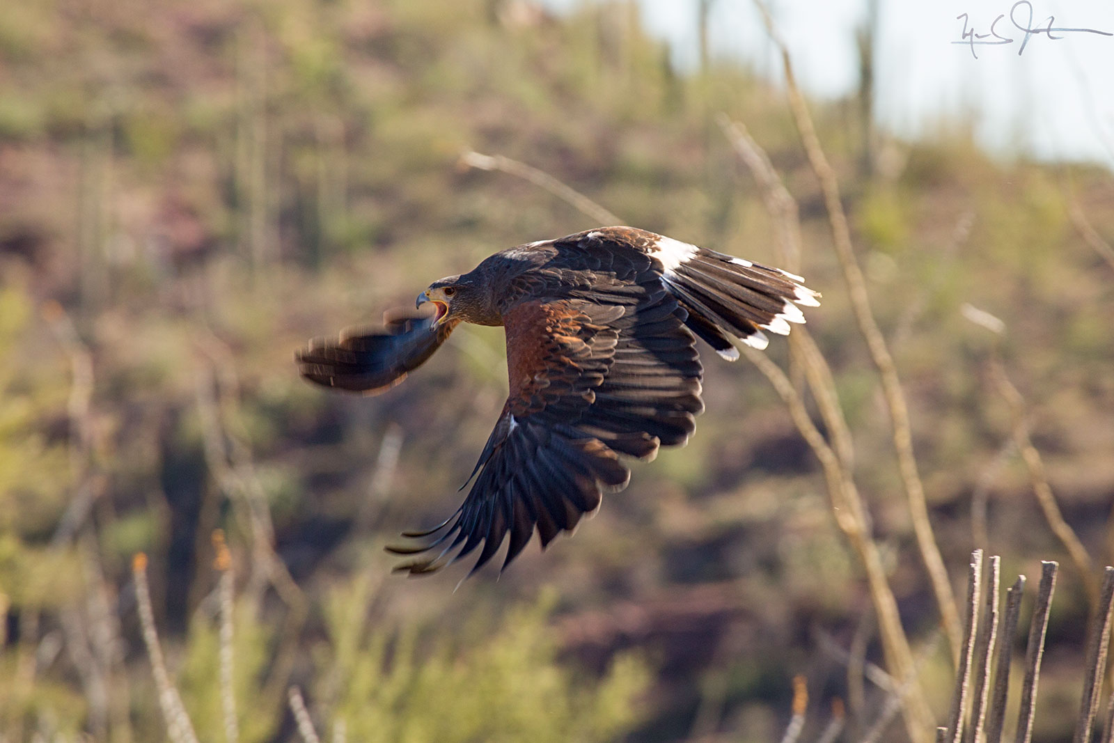The Harris Hawk, Parabuteo unicinctus,  hunts in pairs or larger family groups.