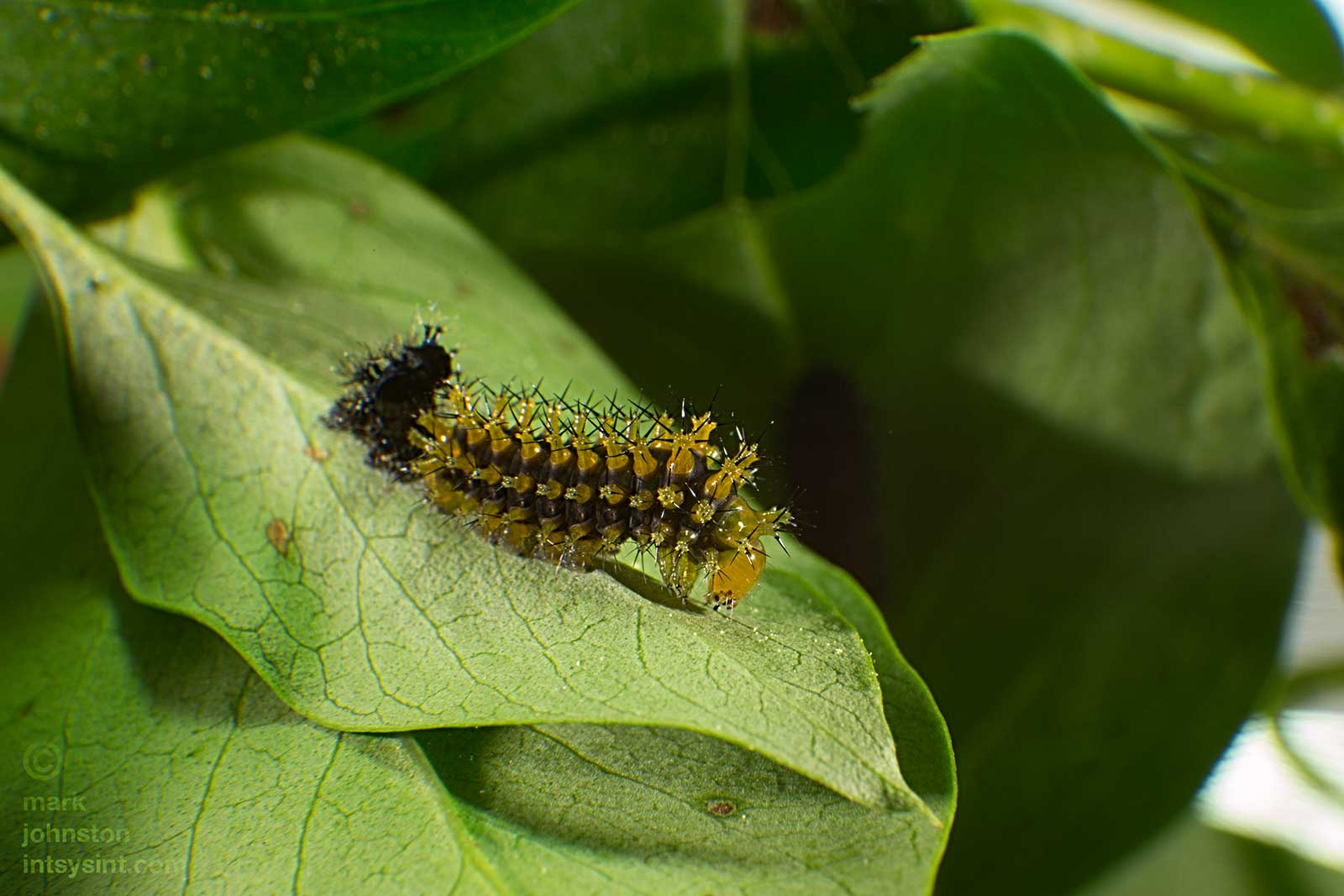 "Nine days after hatching, this caterpillar has shed its skin and is now called a ""second instar"" caterpillar."