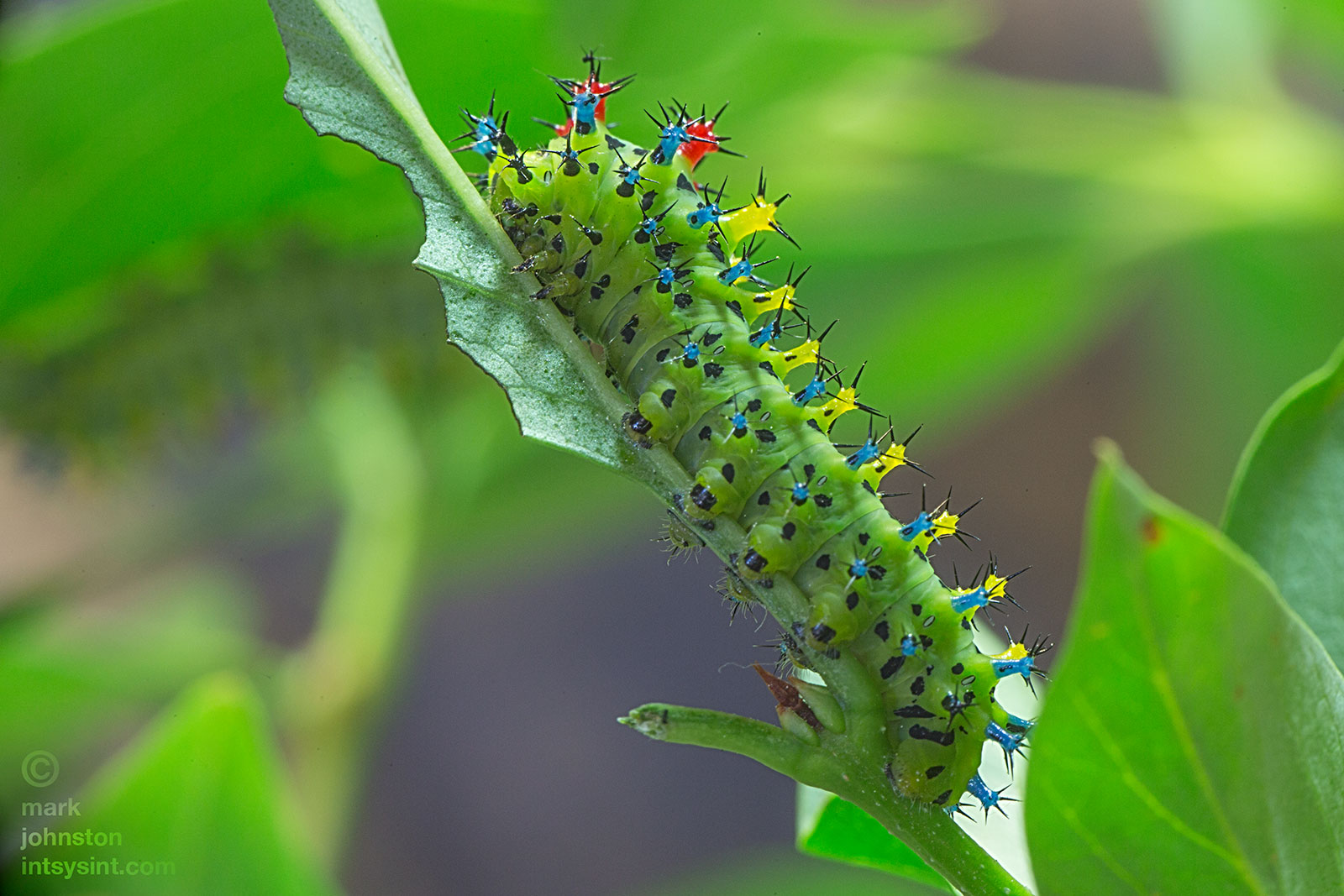 Twenty-six day-old third instar caterpillar.