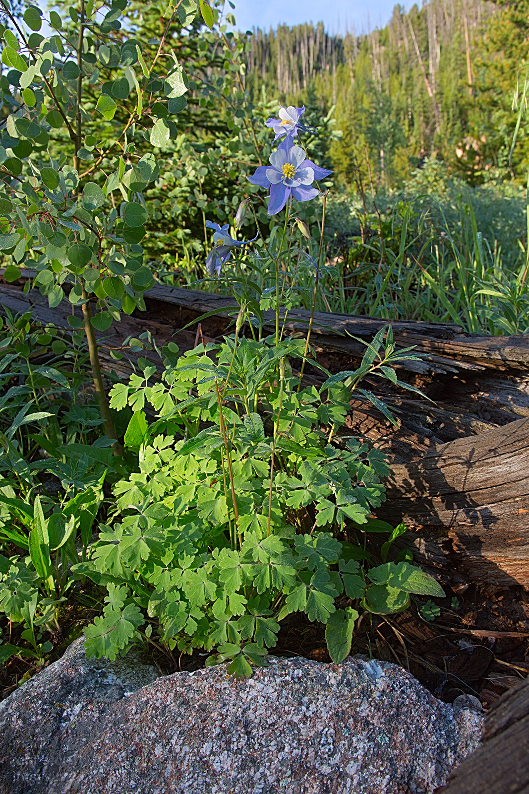 Blue Columbine,   Aquilegia caerulea  , state flower of Colorado.