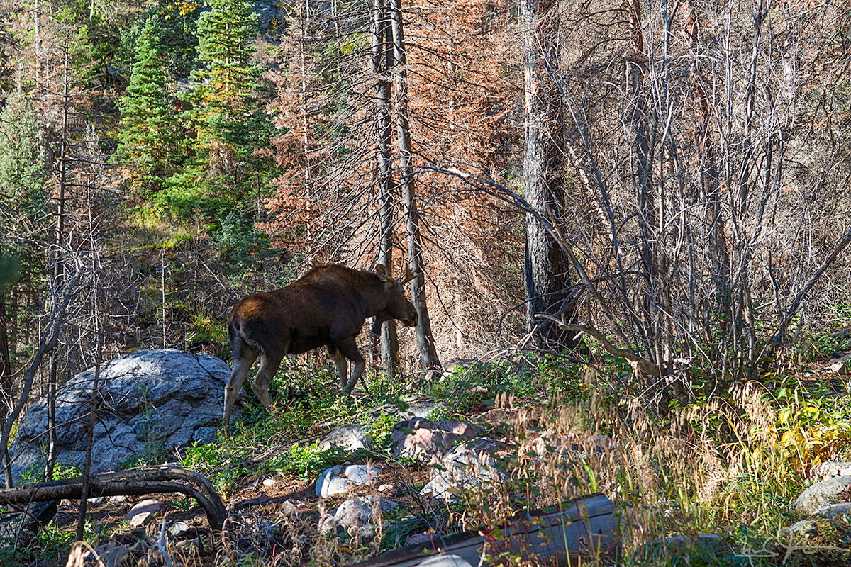 Great to see this bull moose on the east side of the park!