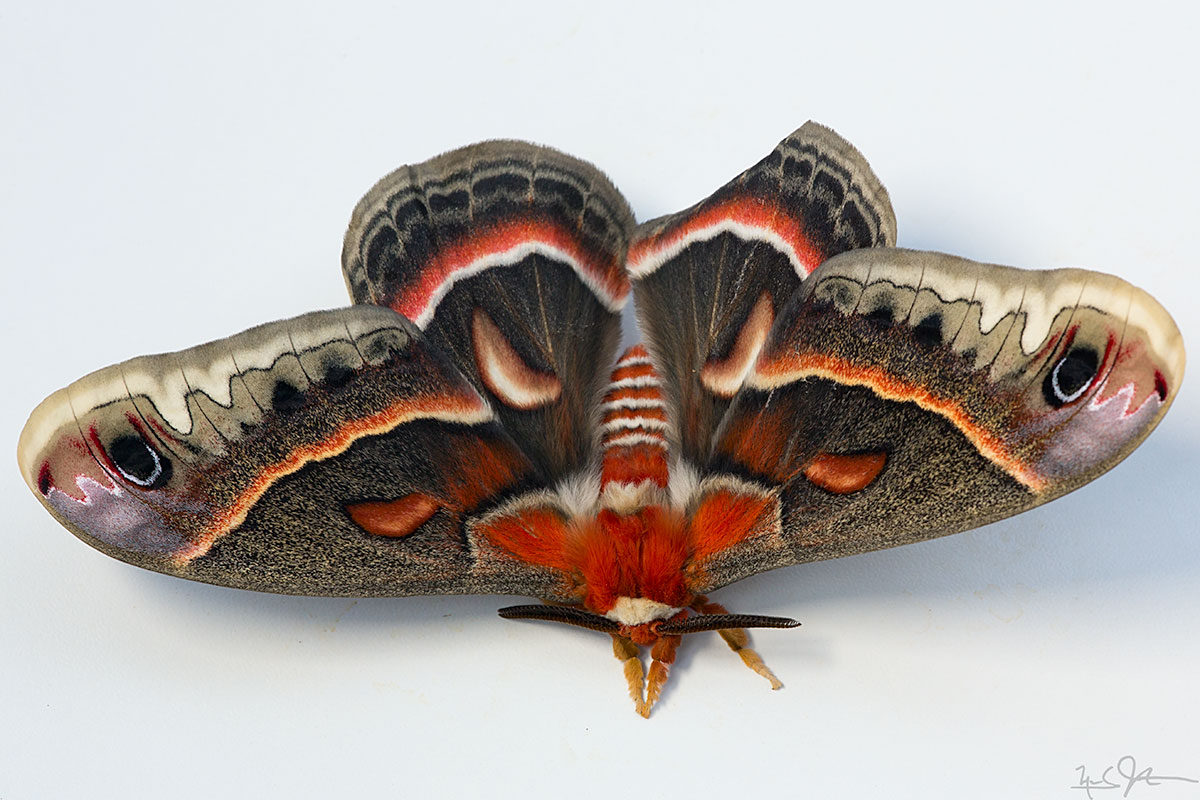 Male Cecropia moth in all his glory.