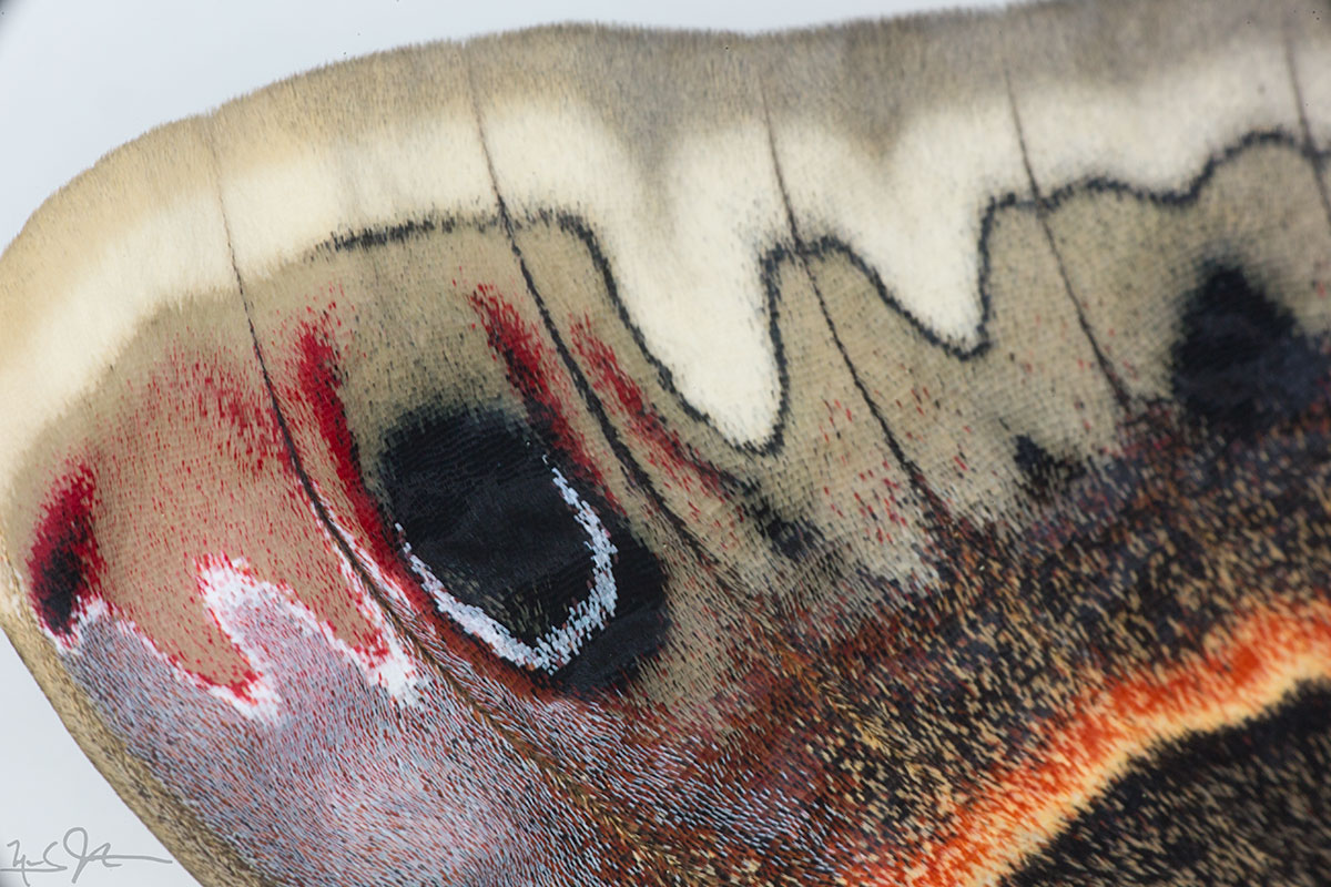 Closeup of moth forewing showing eye spot and other patterns are formed from tiny scales of various colors.  A sort of pointillistic painting.