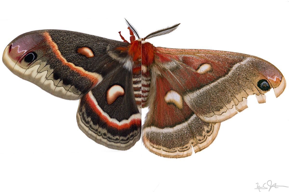Composite image of two adult Cecropia moths.  Left side: female raised from eggs obtained from the east coast of the USA.  Right side: wild Colorado male.