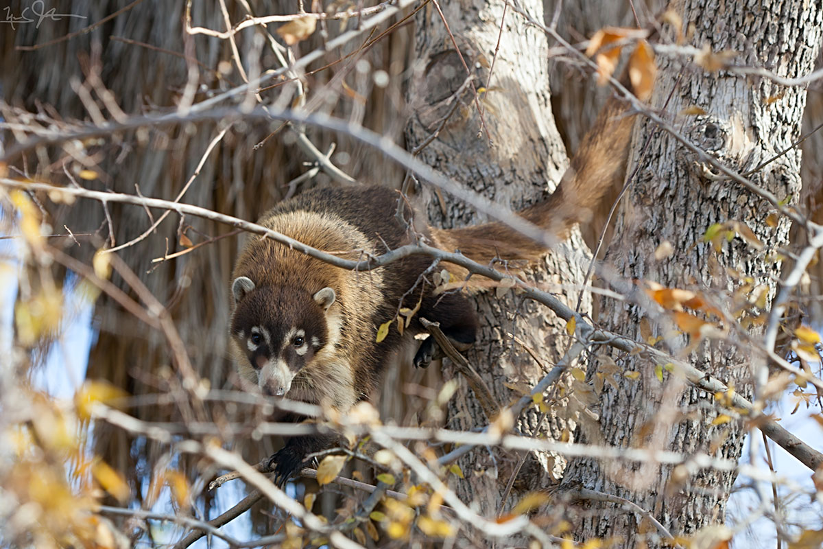 """White-nosed, also called """"coati mundi"""",  Nasua narica , looks at the camera from a cottonwood tree. Four species of coatis are found in the Americas from the southwestern US into northern Argentina."""
