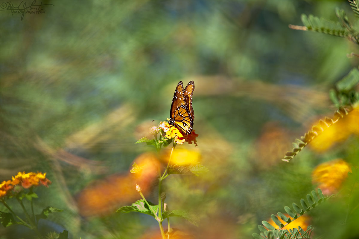 Monarch butterfly on lantana.
