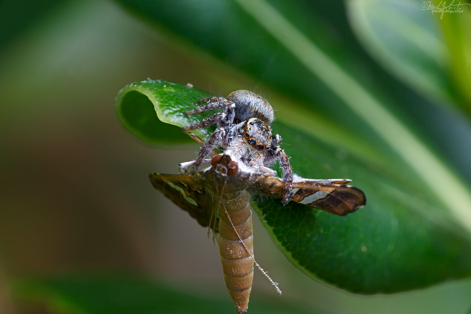 Jumping spider captures a moth.
