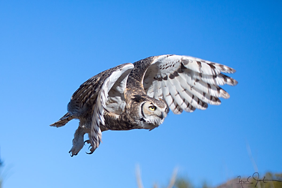 Great Horned Owl,   Bubo virginianus .