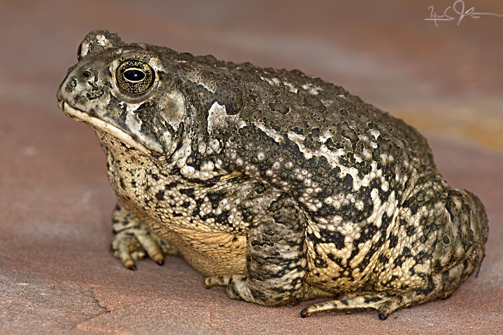 Western Toad,  Anaxyrus boreas .