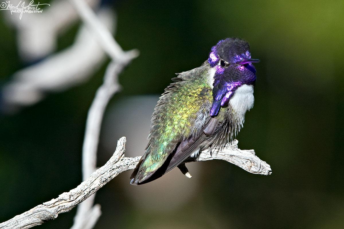 Costas Hummingbird,  Calypte costae .