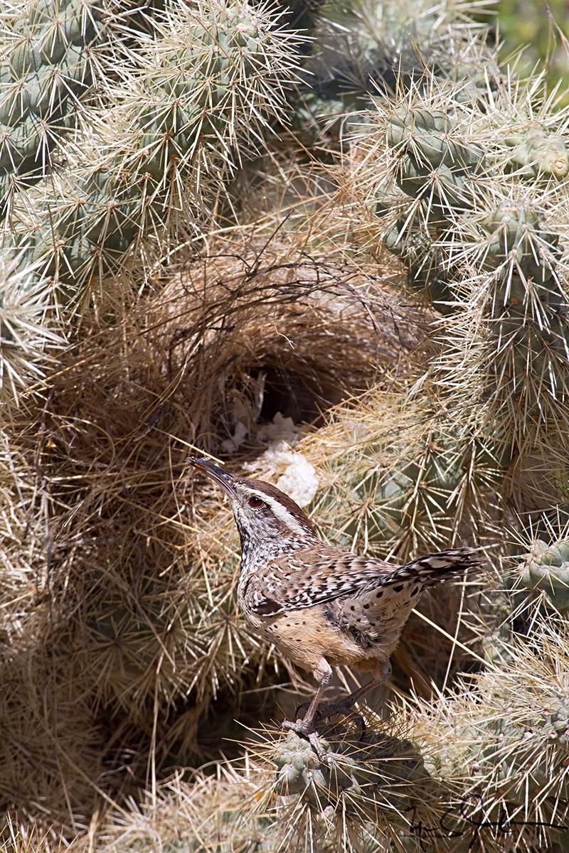 Cactus Wren,  Campylorhynchus brunneicapillus , outside a nest in a teddy bear cholla cactus,  Cylindropuntia bigelovii ,   Arizona.