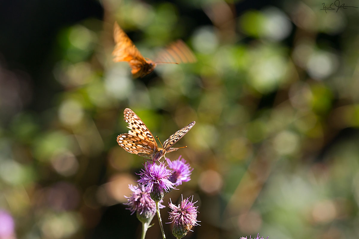 Fritillary butterflies on thistle.  The name comes from the latin word  fritillus  meaning chess board or dice box.