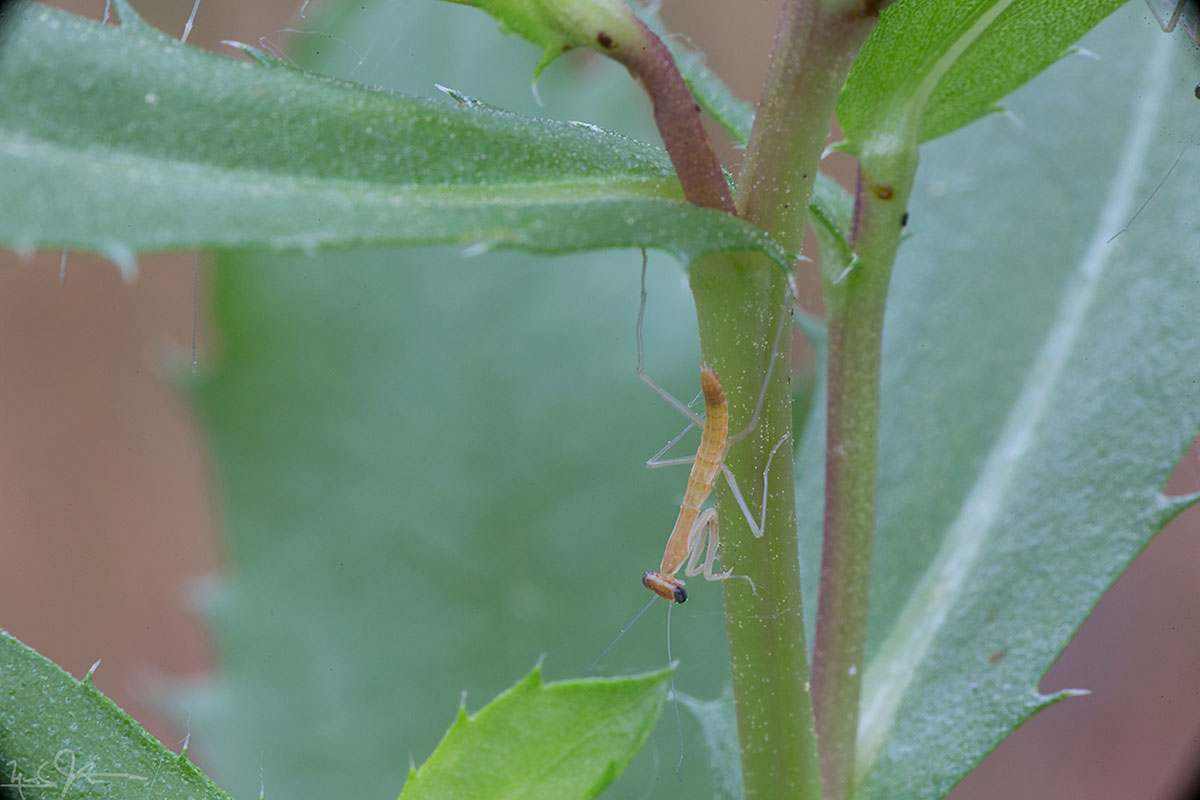 Hatchling praying mantis.