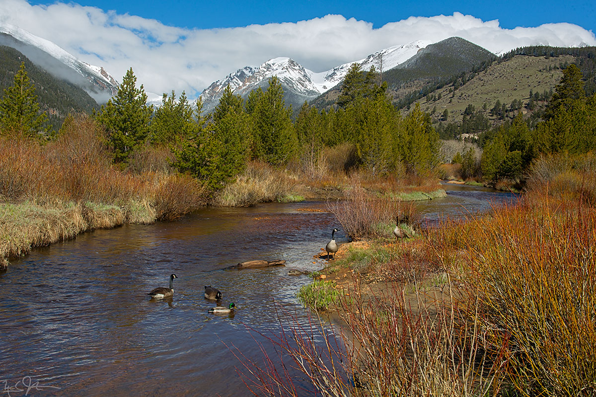 Geese and ducks on the Fall River, Rocky Mountain National Park.