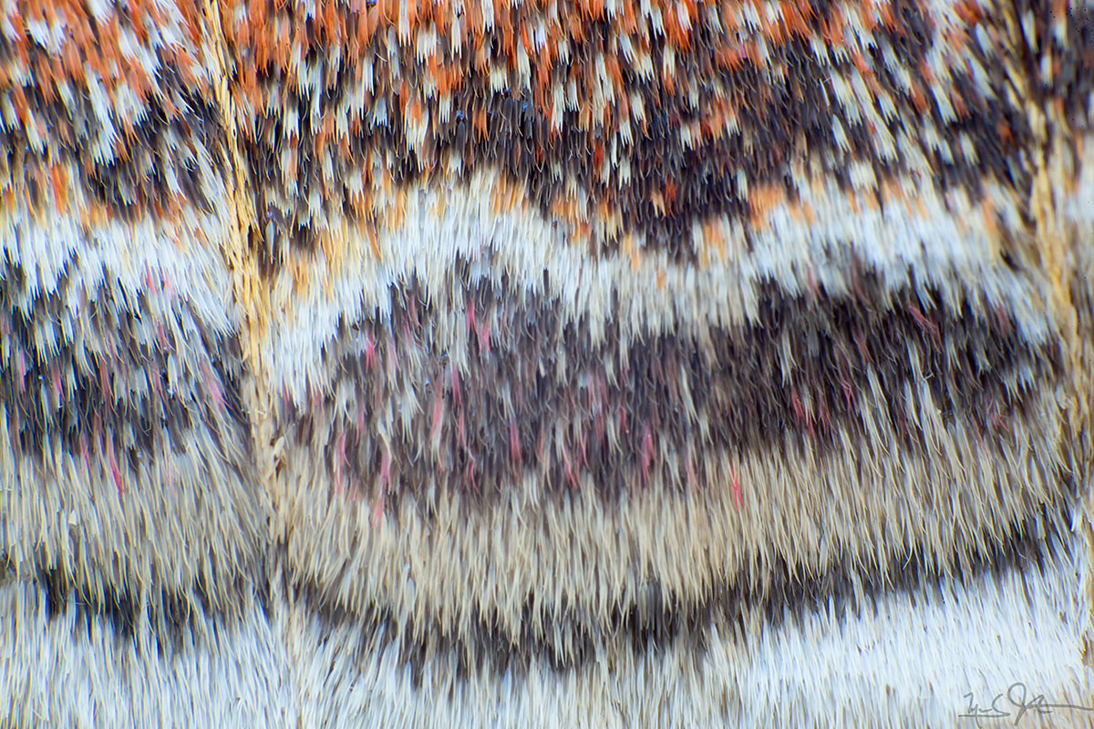 Scales on the wing of a Cecropia moth,  Hyalophora cecropia .