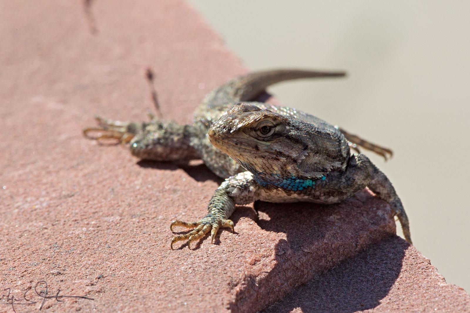 Fence lizard, Genus  Sceloporus .