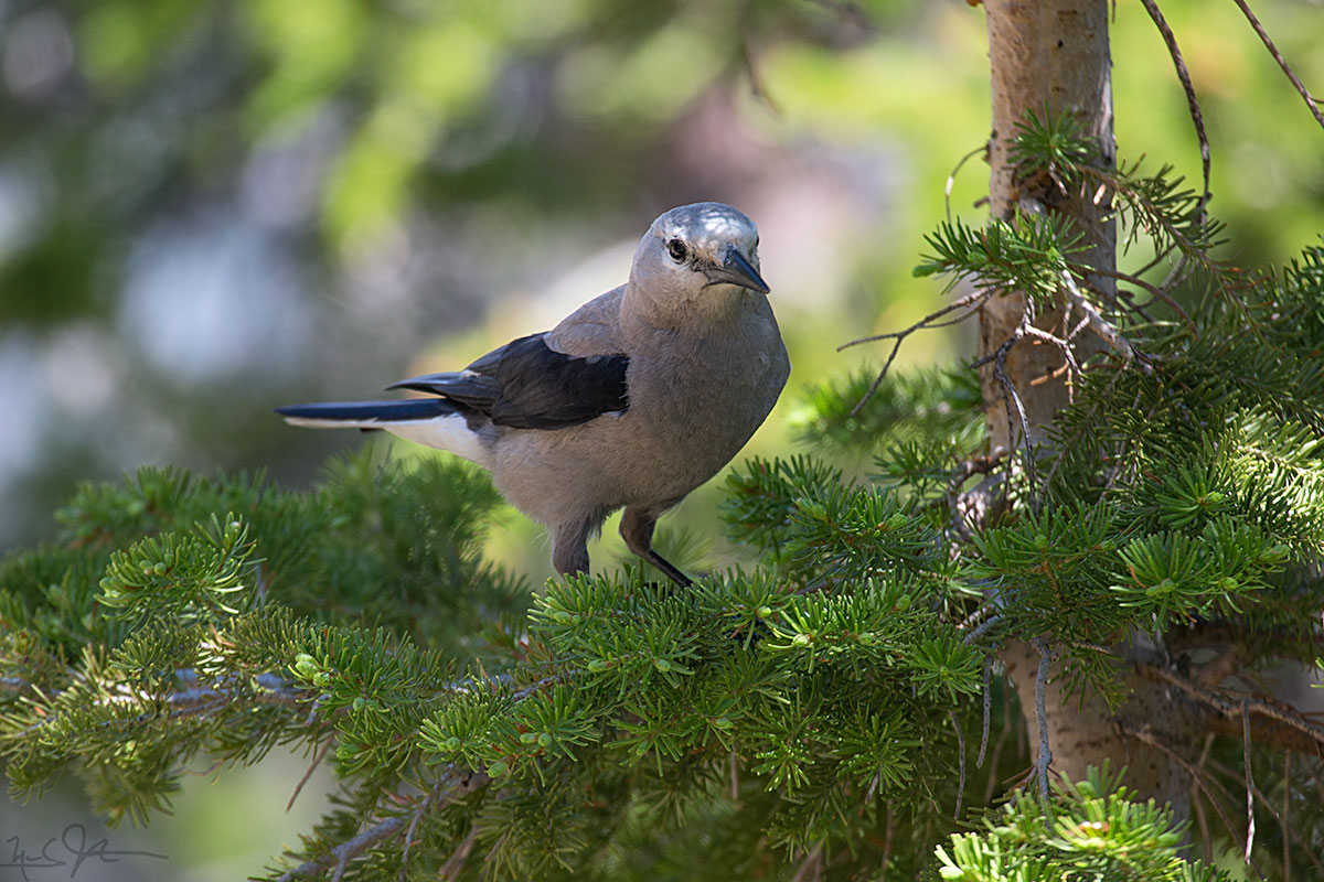 Clark's Nutcracker,  Nucifraga columbiana , a bird of the higher elevations.