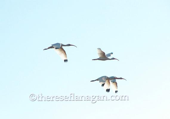 4 ibises in flight.jpg