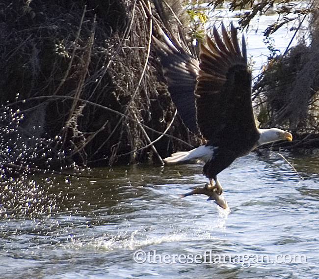eagle snags a fish.jpg