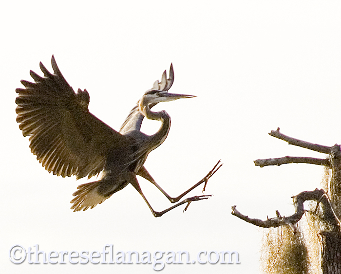heron landing.jpg
