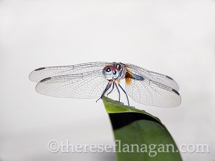 dragonfly on leaf.jpg
