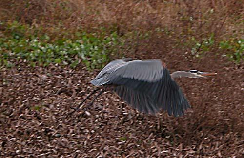 blue heron fotolog.jpg