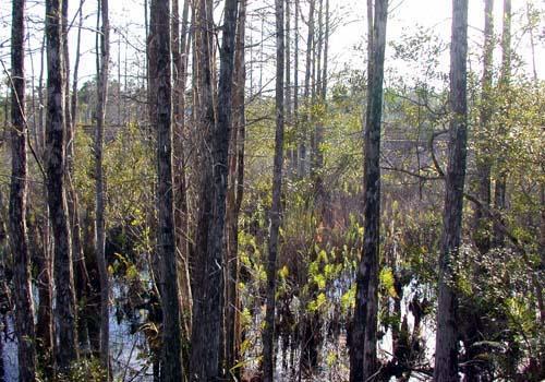 cypress trees fotolog.jpg