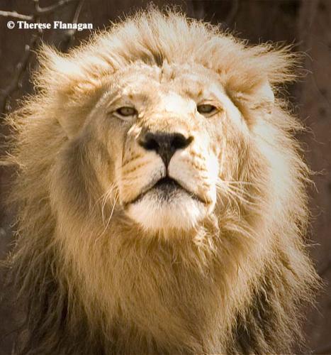lion fotolog.jpg