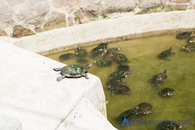 Temple Turtles!