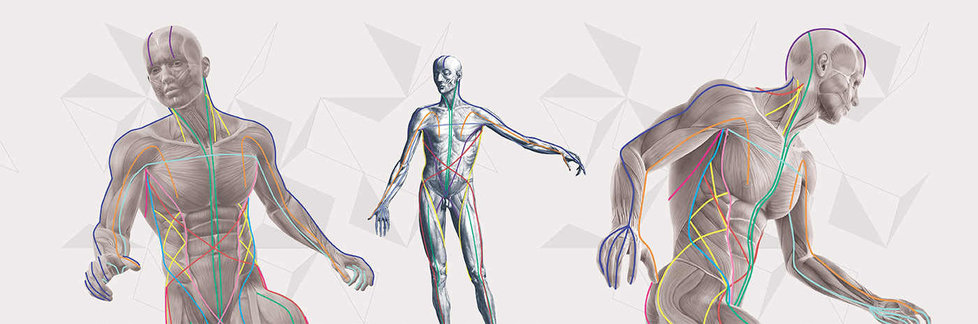 The Anatomy Trains myofascial meridians are represented by the colored lines that are superimposed on these figures. An even tone among these lines supports/allows for length and ease in the tissues and joints of the body.   (Anatomy Trains images used with permission from Tom Myers.)