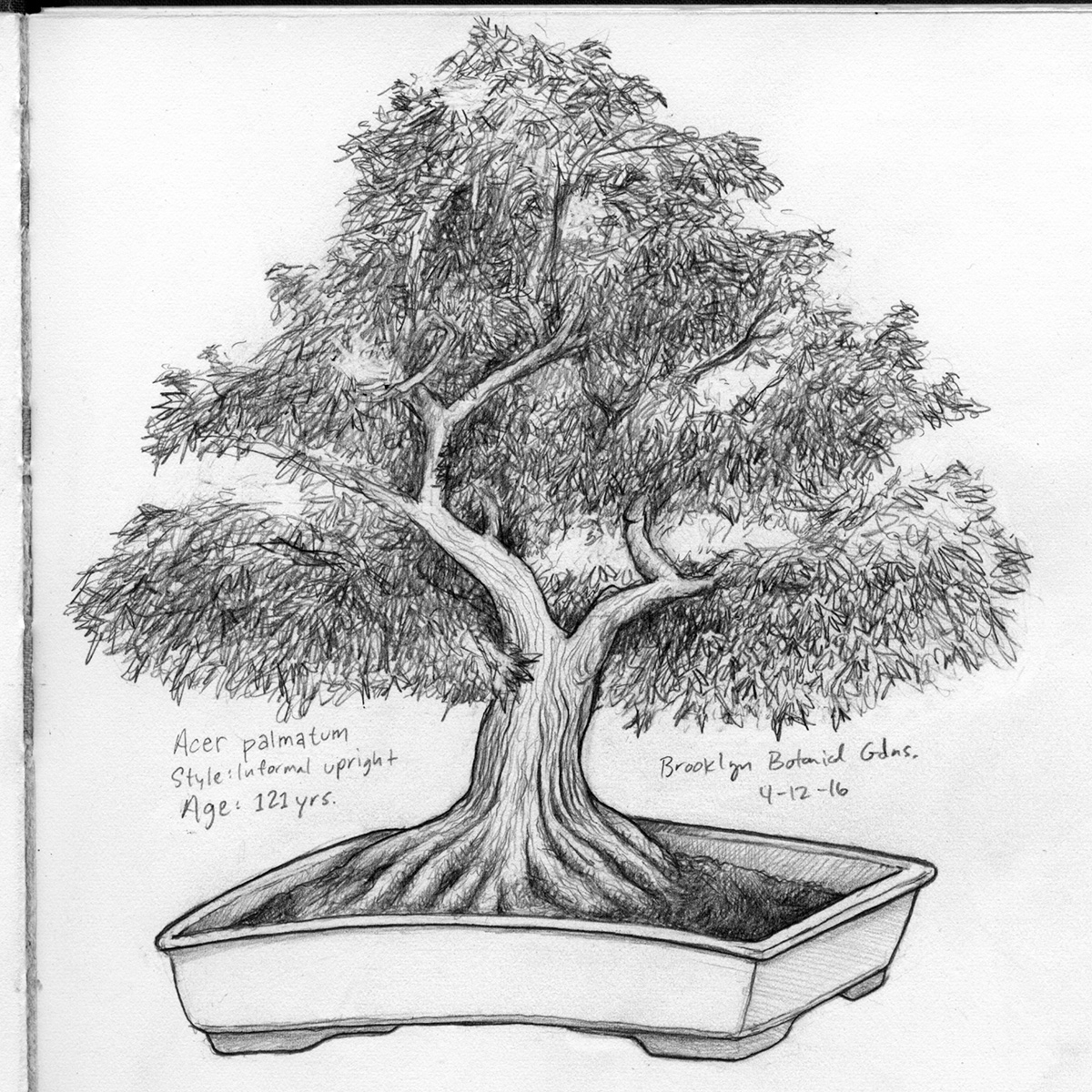121 yr old bonsai - afterschool sketchbook outing with Willy