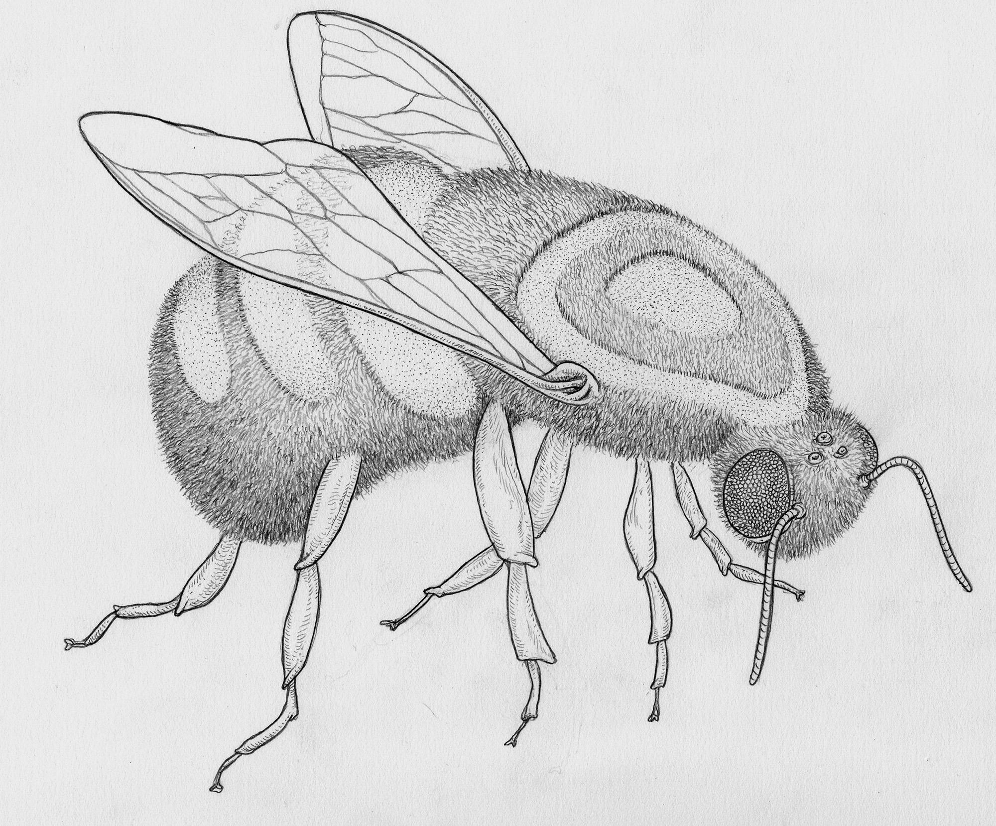 shaved-bee-1-graphite-web.jpg