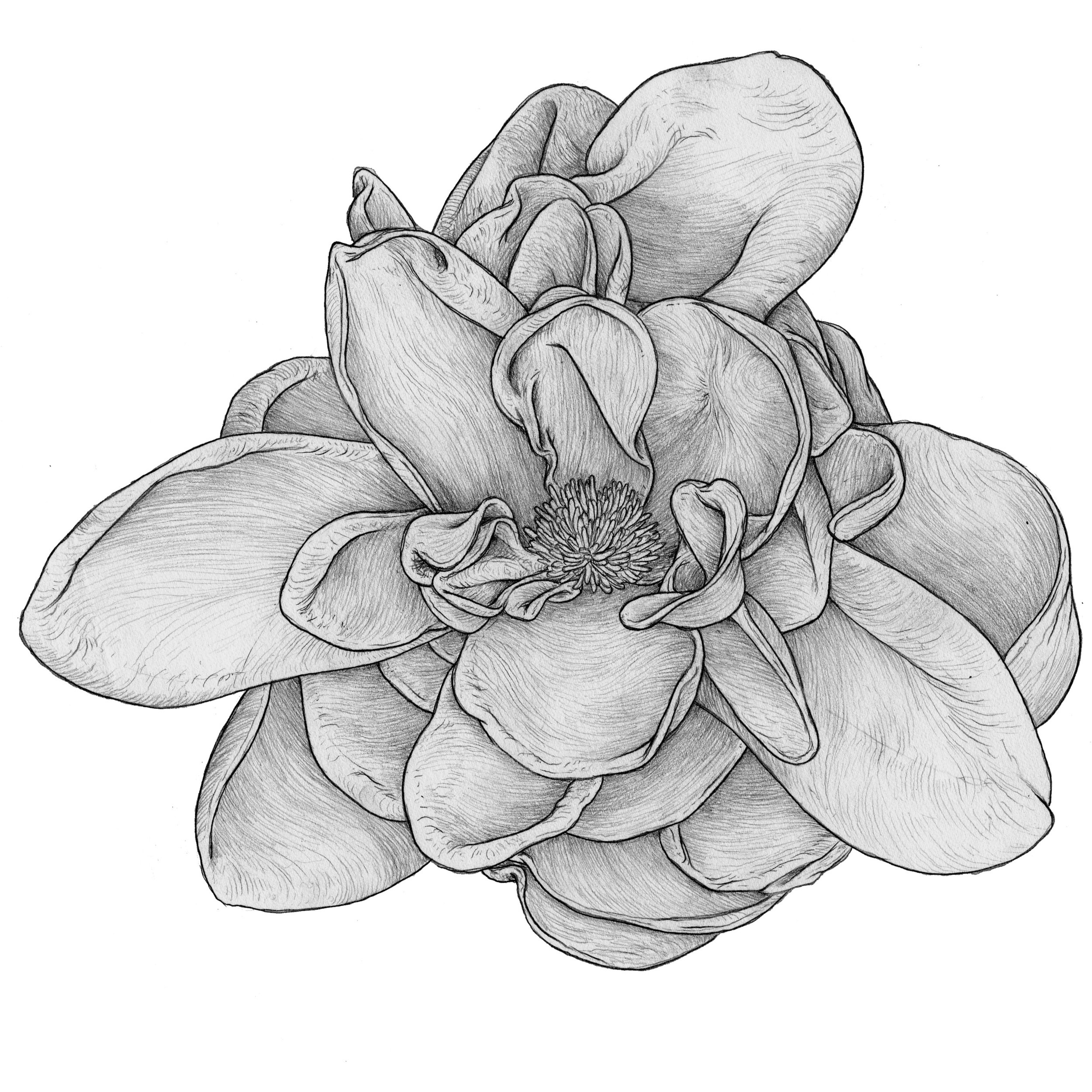 graphite sketch flower.jpg